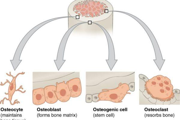 Bone_cells